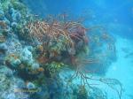A heavily encrusted palmate sea fan