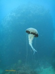 A compass sea jelly battling the current around the reef