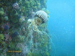 A compass sea jelly next to the wall