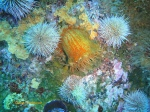 Knobbly anemone with two urchin assistants