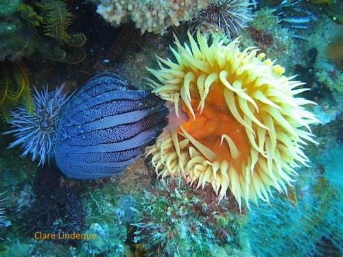 False plum anemone slurps in a compass sea jelly