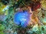 Knobbly anemone