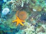 Red sea star cuddling up to a false plum anemone